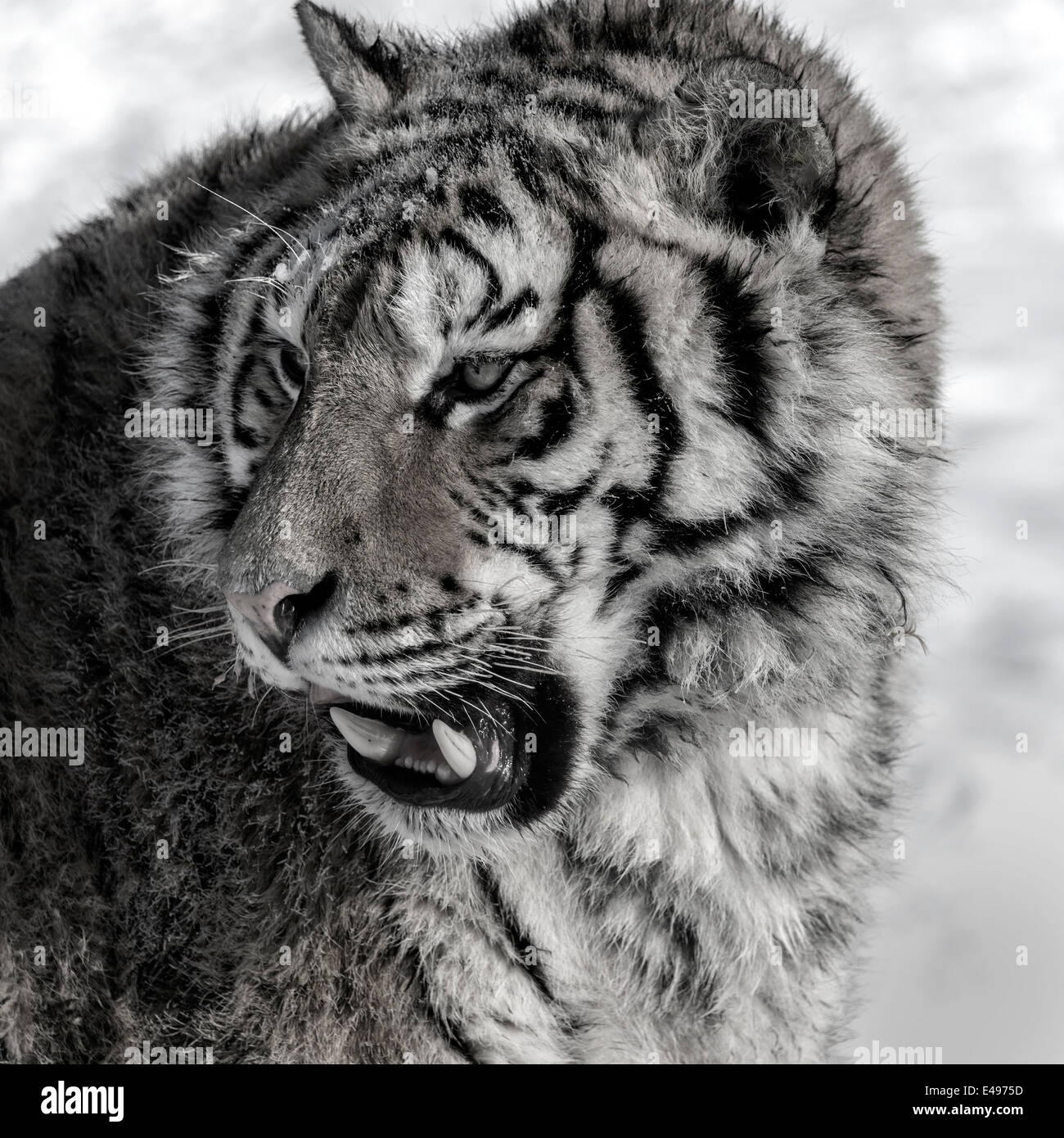Portrait of a Siberian tiger B/W, Hengdaohezi Breeding Center, Mudanjiang, China - Stock Image