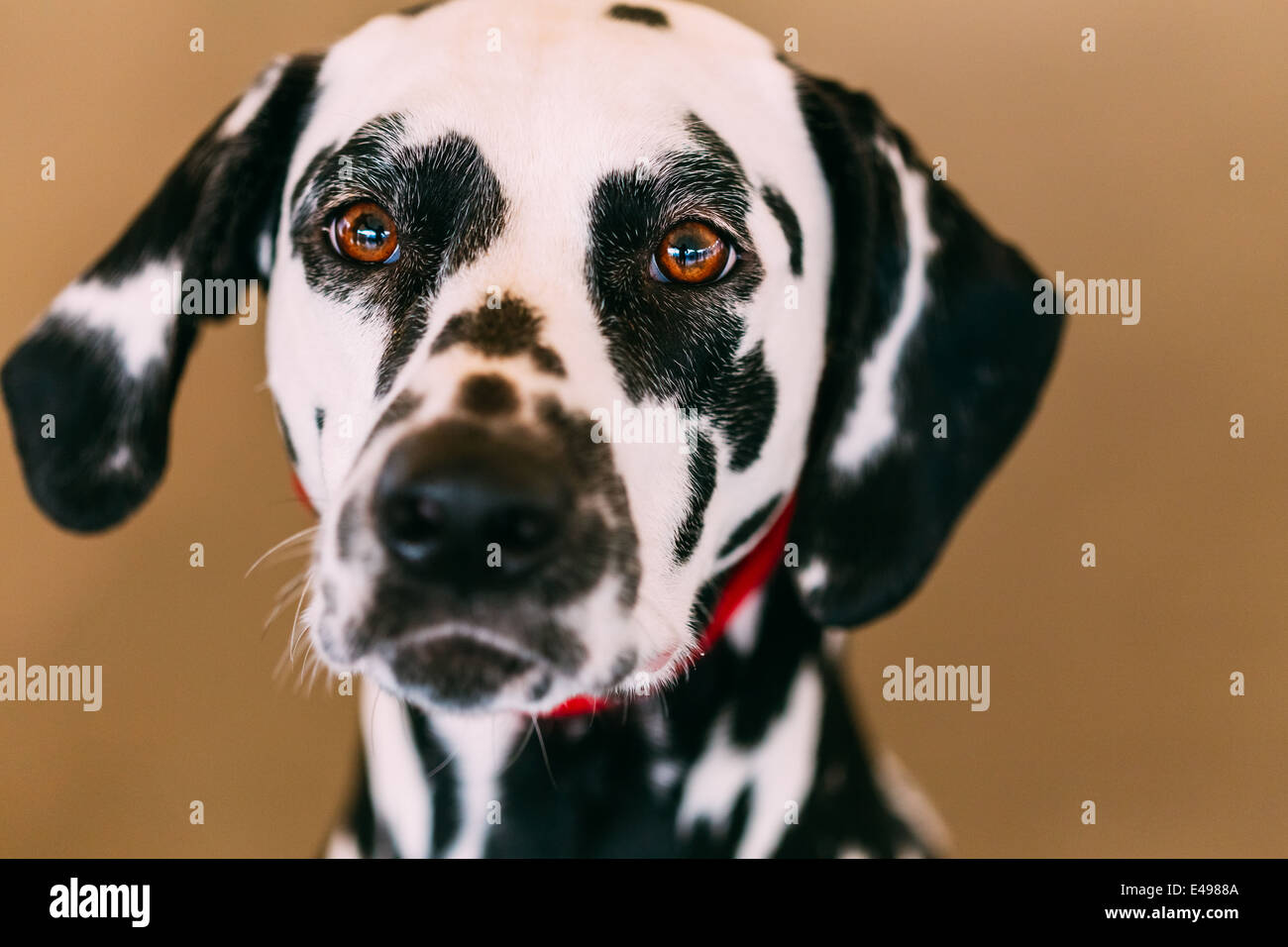 Close up of the face of a dalmatian dog. Beautiful Dalmatian dog head portrait with cute expression in the face - Stock Image