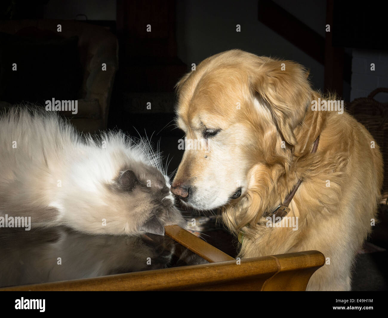 Close relationship between a Ragdoll cat and golden retriever dog in UK - Stock Image