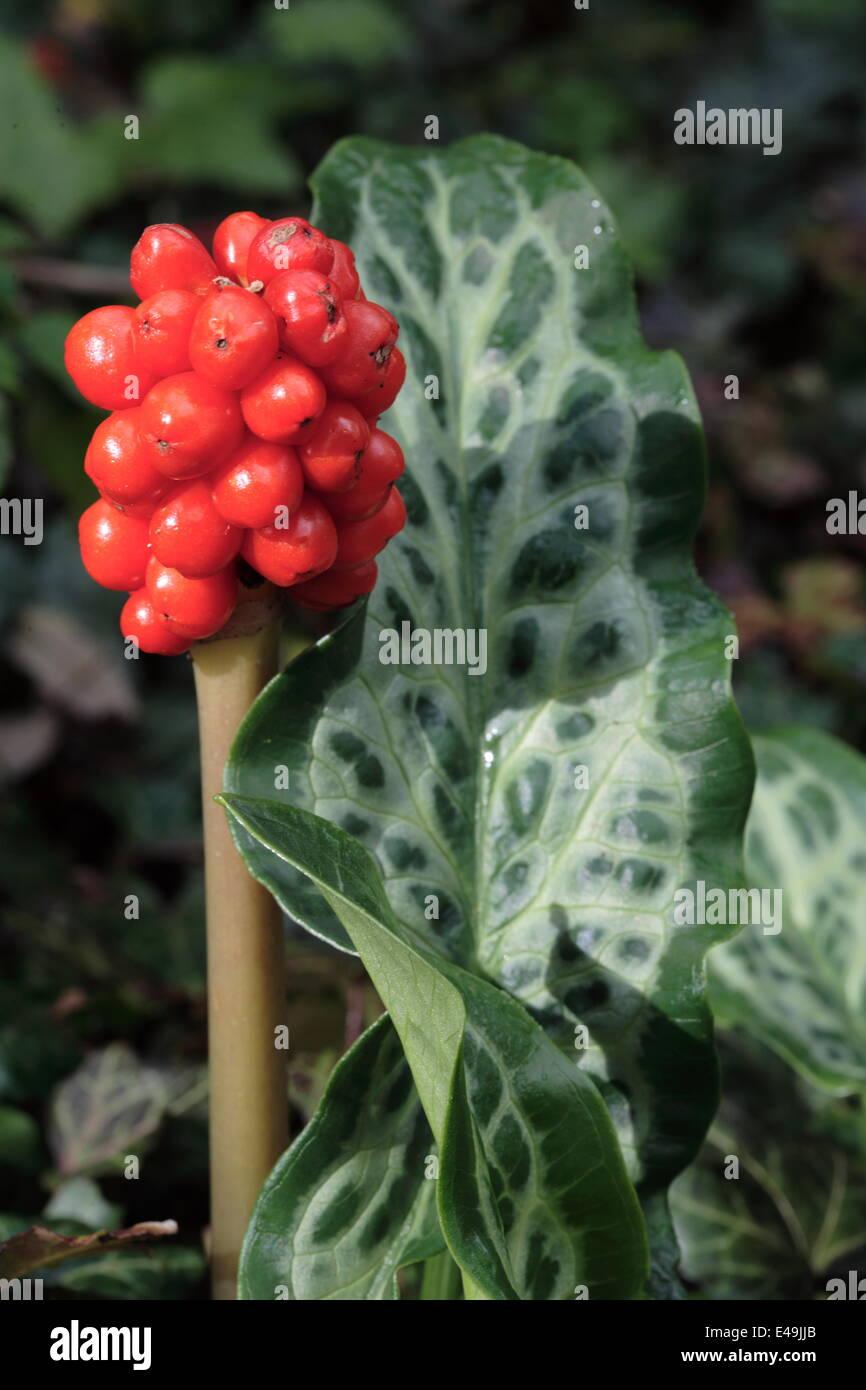 Common arum - Arum maculatum - Stock Image