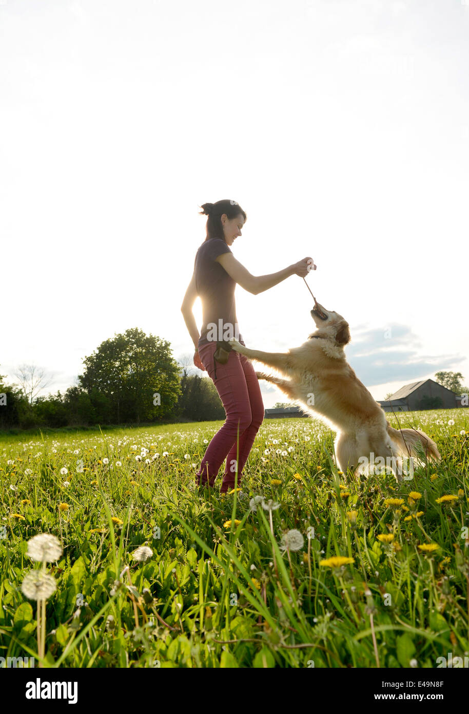 Young woman playing with Golden Retriever on meadow - Stock Image