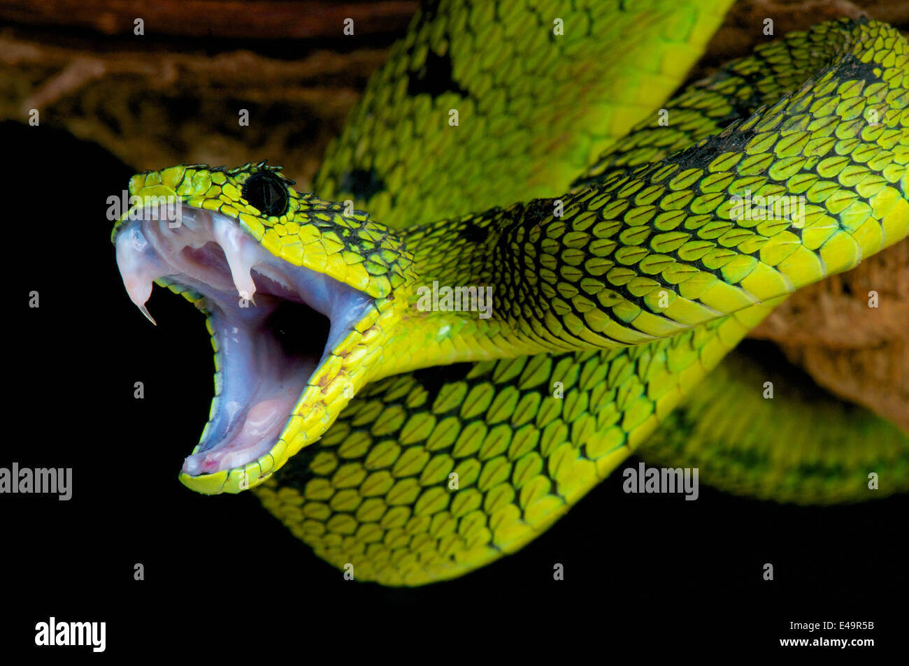 Snake attack ! - Stock Image
