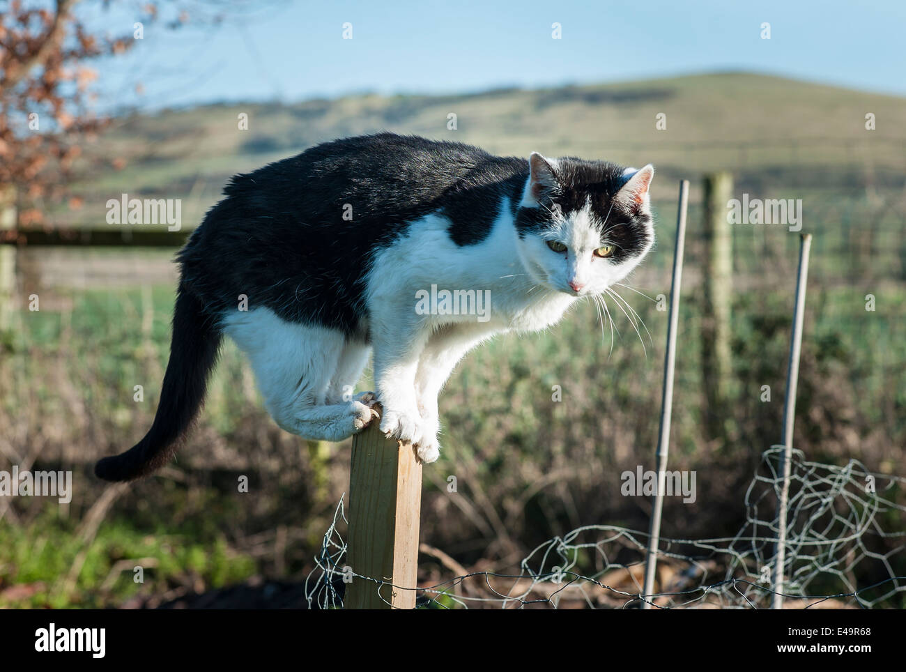 Black and white cat perched on garden post in alert posture during hunting - Stock Image