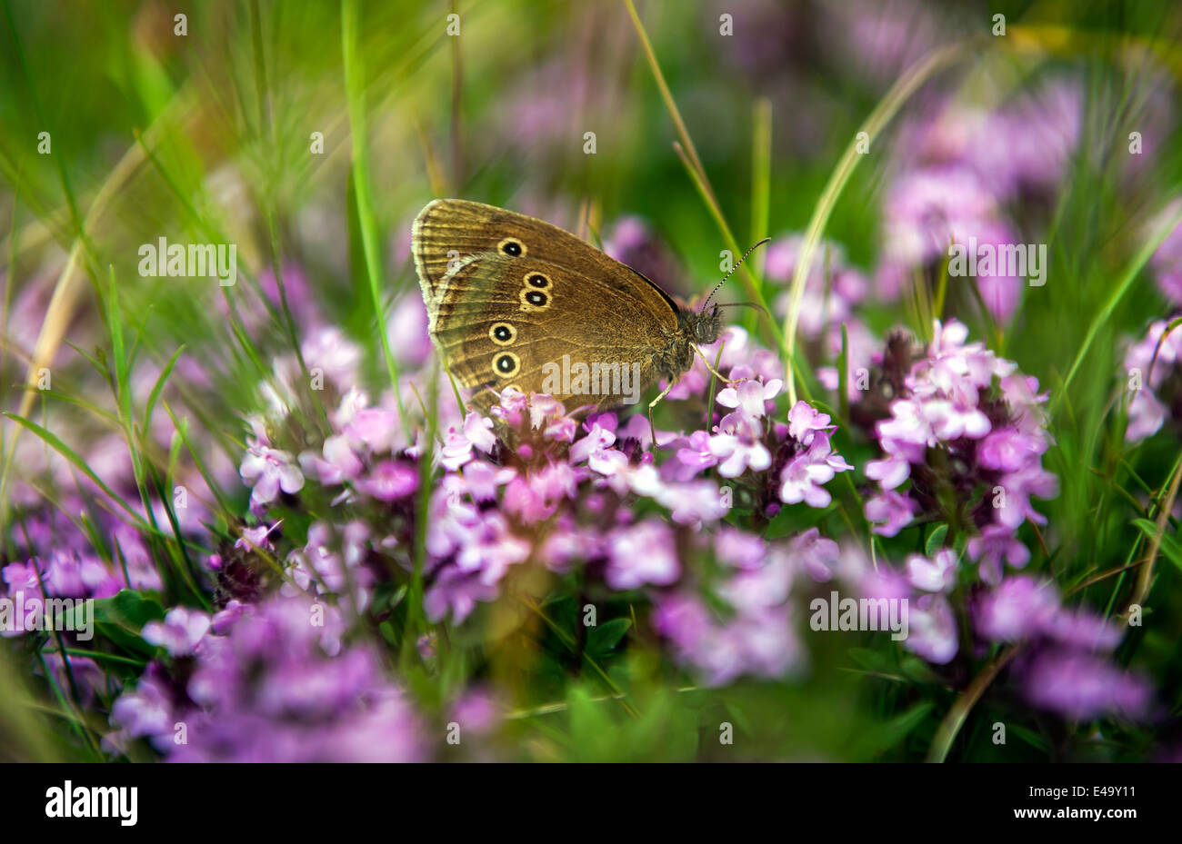 Female Ringlet Butterfly on Beacon Hill, Hampshire, UK - Stock Image