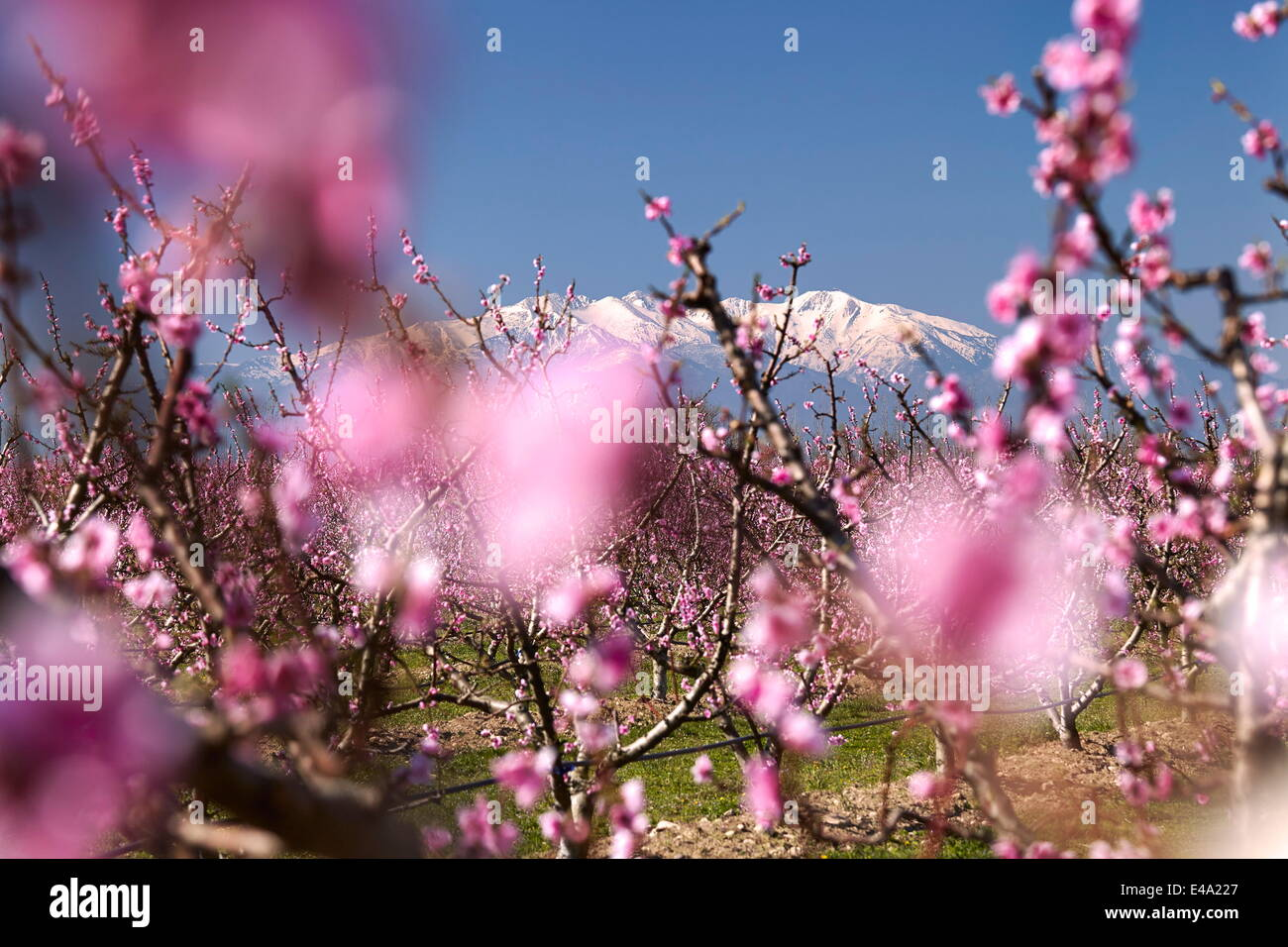 Fruit blossom, Mount Canigou, Pyrenees Oriental, Languedoc-Roussillon, France, Europe - Stock Image