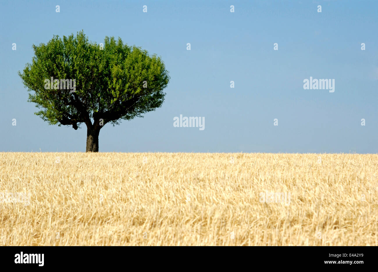 Olive tree in a wheat field in Provence, France in summer season - Stock Image