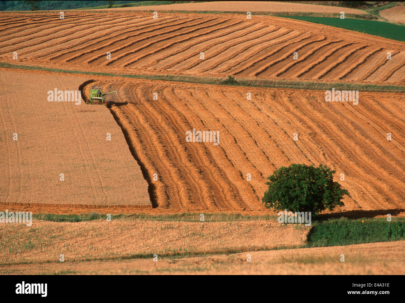 Wheat harvest in Limagne, Auvergne, France, Europe - Stock Image