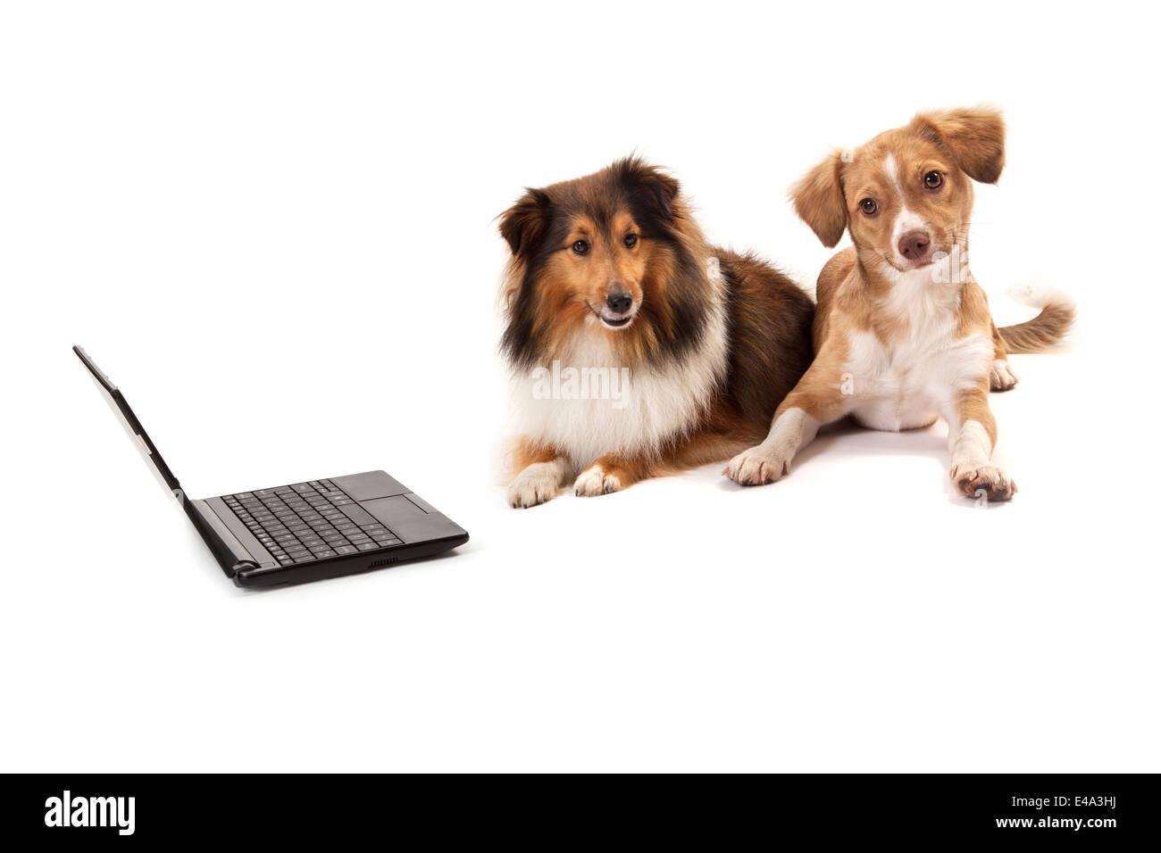 Shetland sheepdog and mixed breed dog sitting near laptop over white background - Stock Image