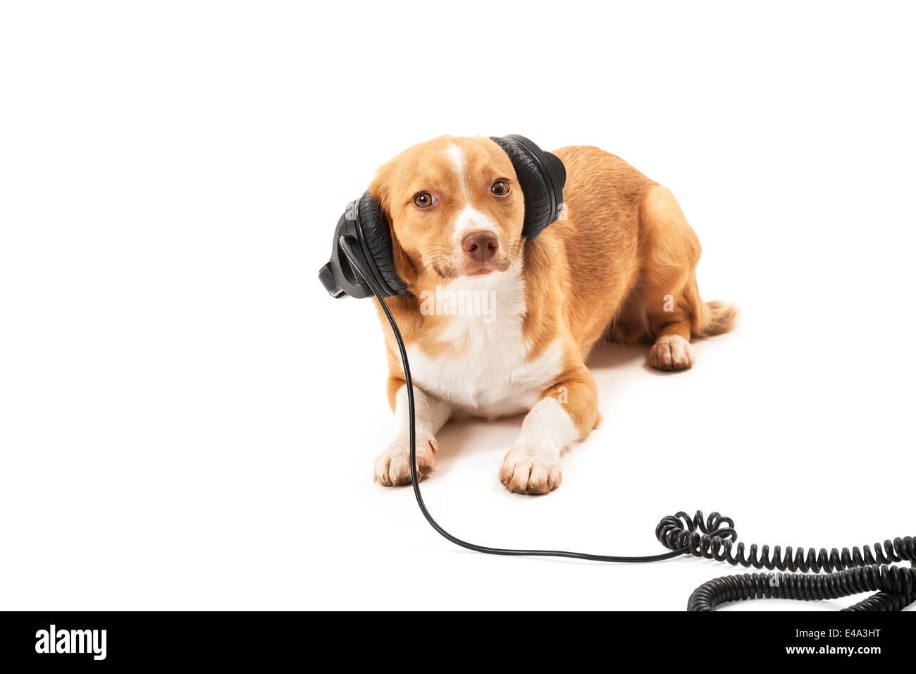 Portrait of dog listening music on headphone isolated on white background - Stock Image