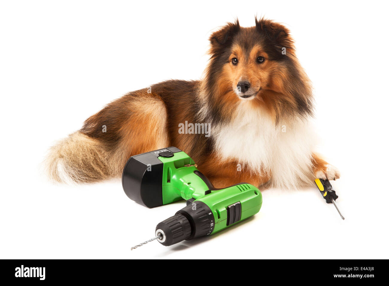 Portrait of dog with drilling machine and screwdriver isolated over white background - Stock Image