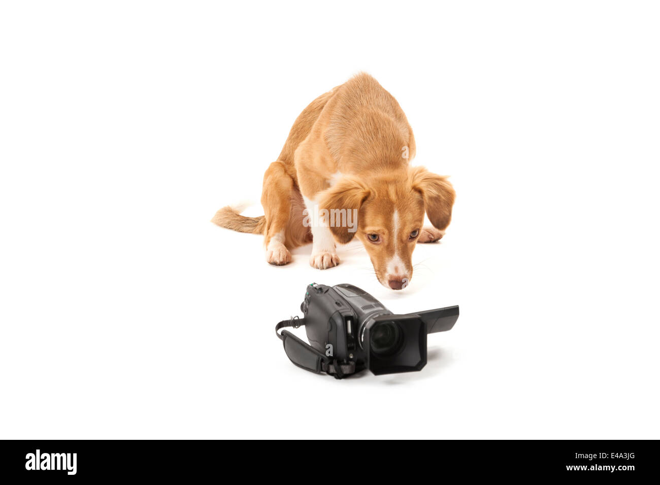 Portrait of dog looking at camcorder isolated over white background - Stock Image