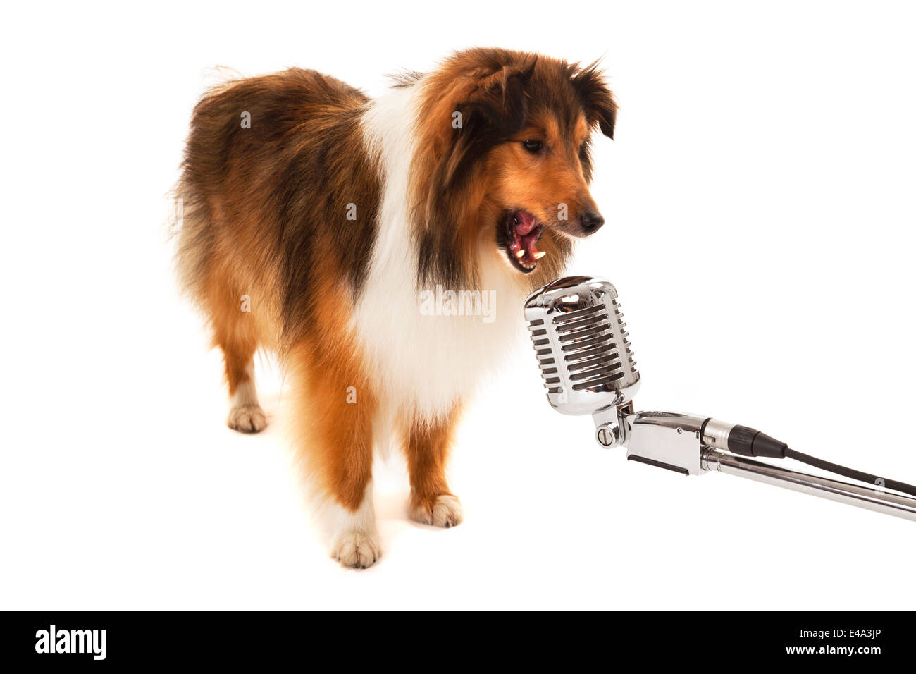 Portrait of dog singing on vintage microphone isolated over white background - Stock Image