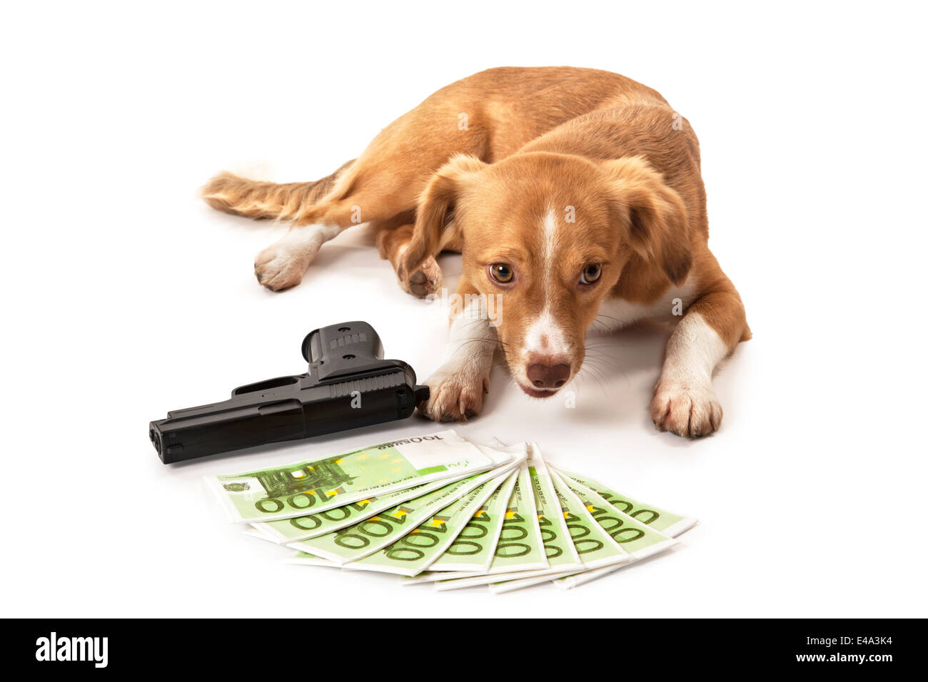 Portrait of dog in front of handgun and euro banknote over white background - Stock Image