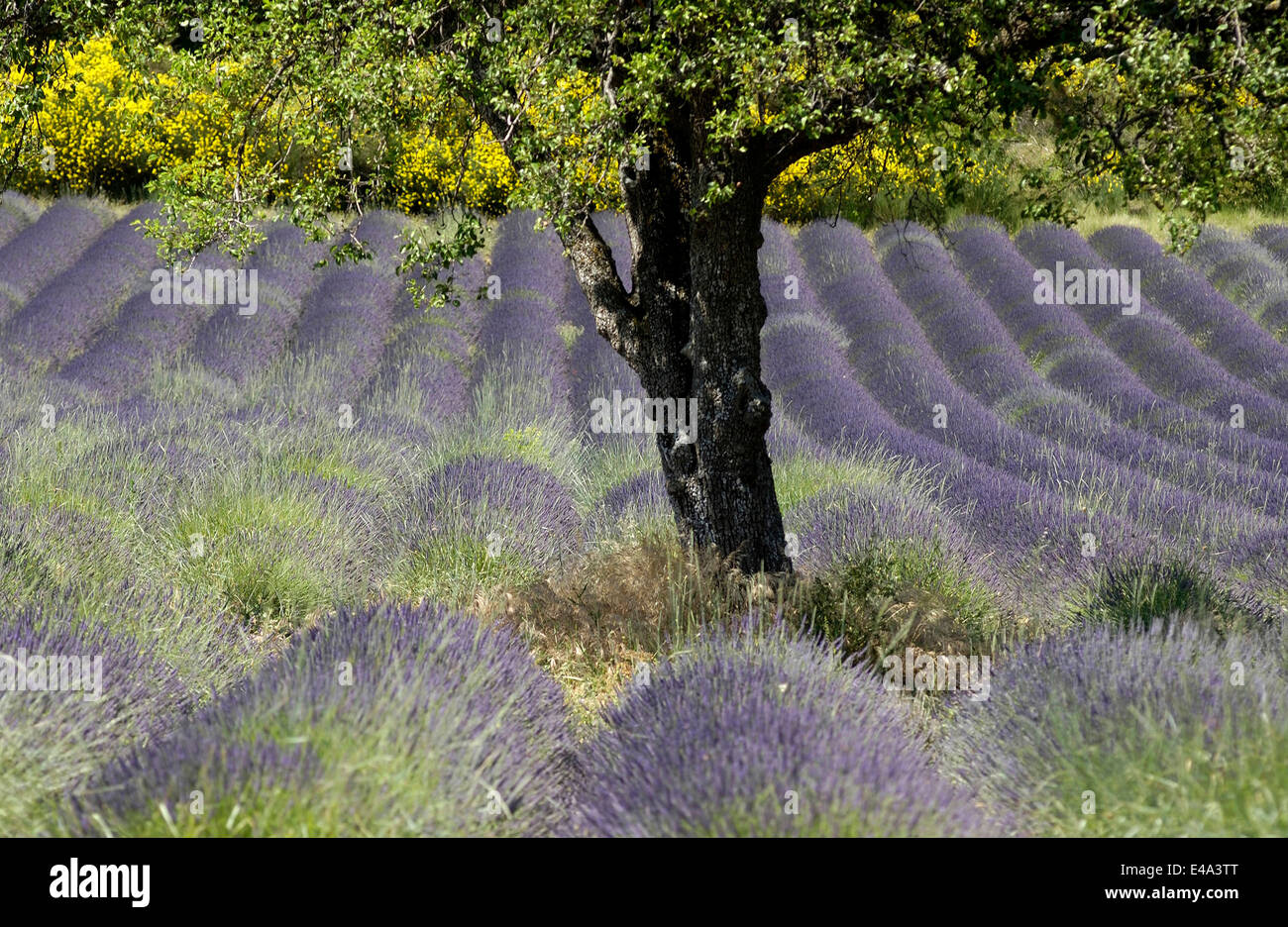 Beautiful blooming lavender field in the Valensole region of Provence, France in the summer season - Stock Image