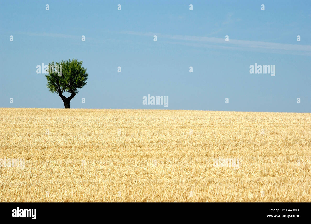 Lone olive tree in a wheat field with blue sky, Provence, France in summer - Stock Image
