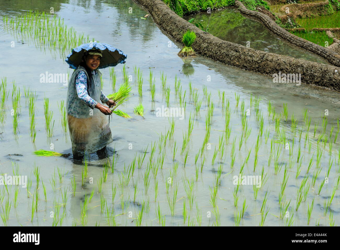 Woman planting in the rice terraces of Banaue, UNESCO World Heritage Site, Northern Luzon, Philippines, Southeast - Stock Image