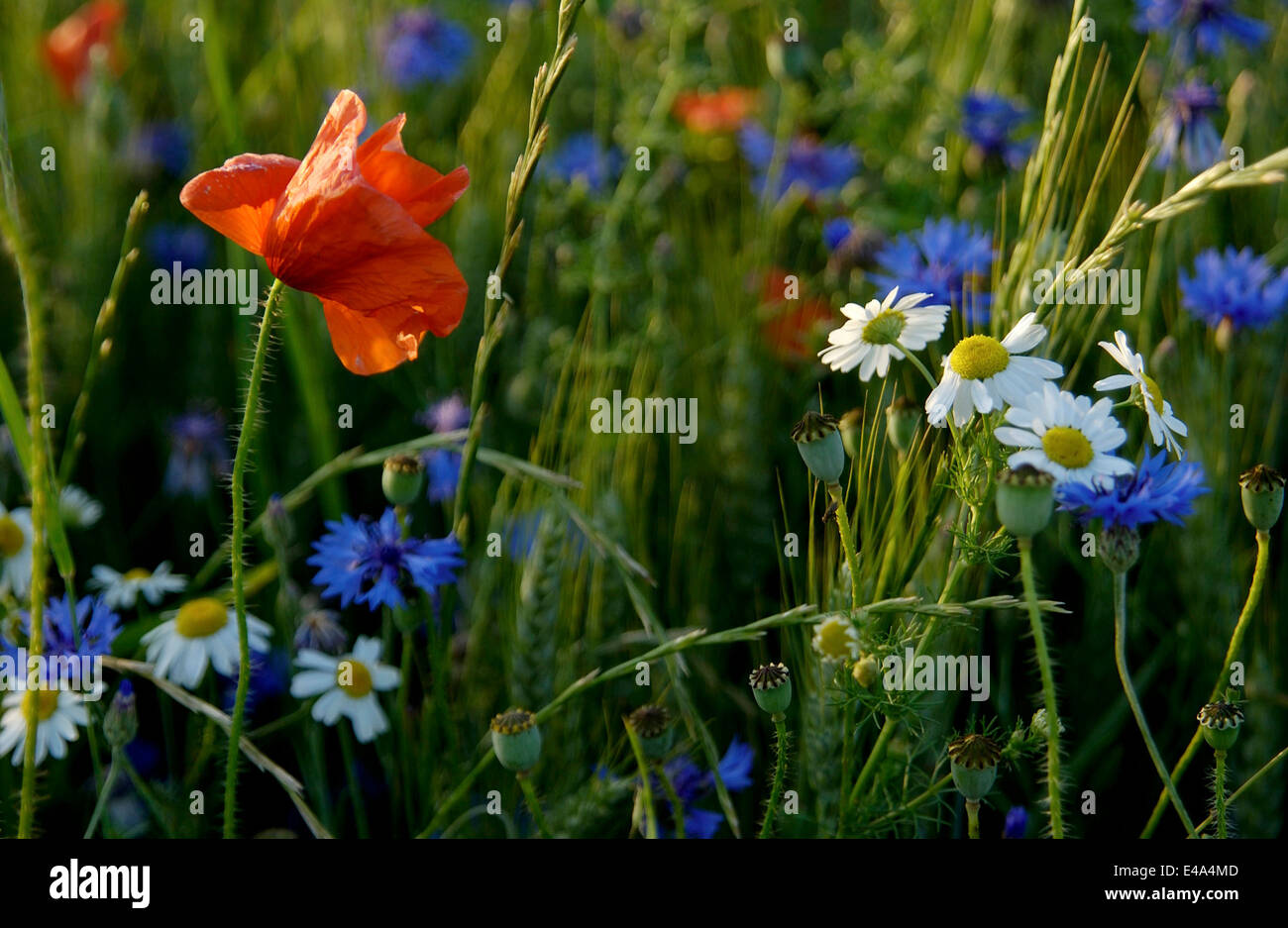 Pretty wildflowers in a meadow field in summer close up - Stock Image