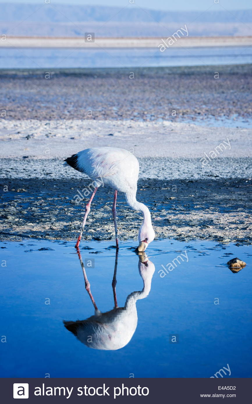 Puna (James) flamingo (Parina chica) wading in shallow water at Laguna de Chaxa (Chaxa Lake), San Pedro, Chile, Stock Photo