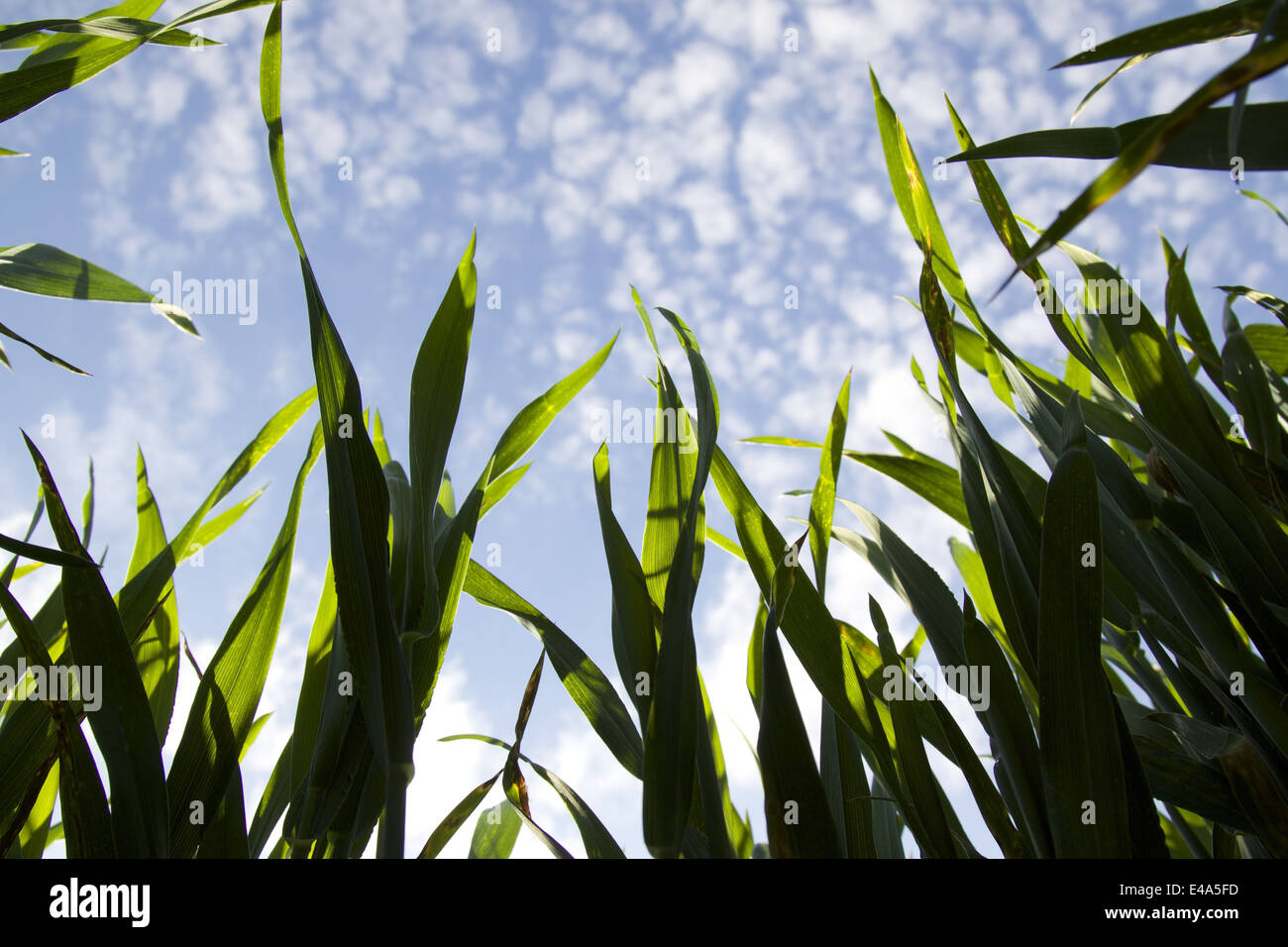 Worm's eye view of a field in England - Stock Image