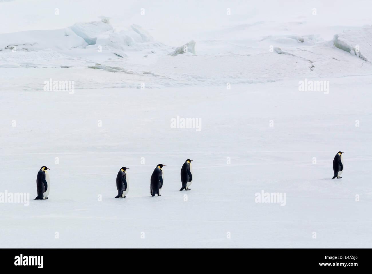 Emperor Penguins (Aptenodytes forsteri) marching across sea ice on Snow Hill Island, Weddell Sea, Antarctica, Polar - Stock Image