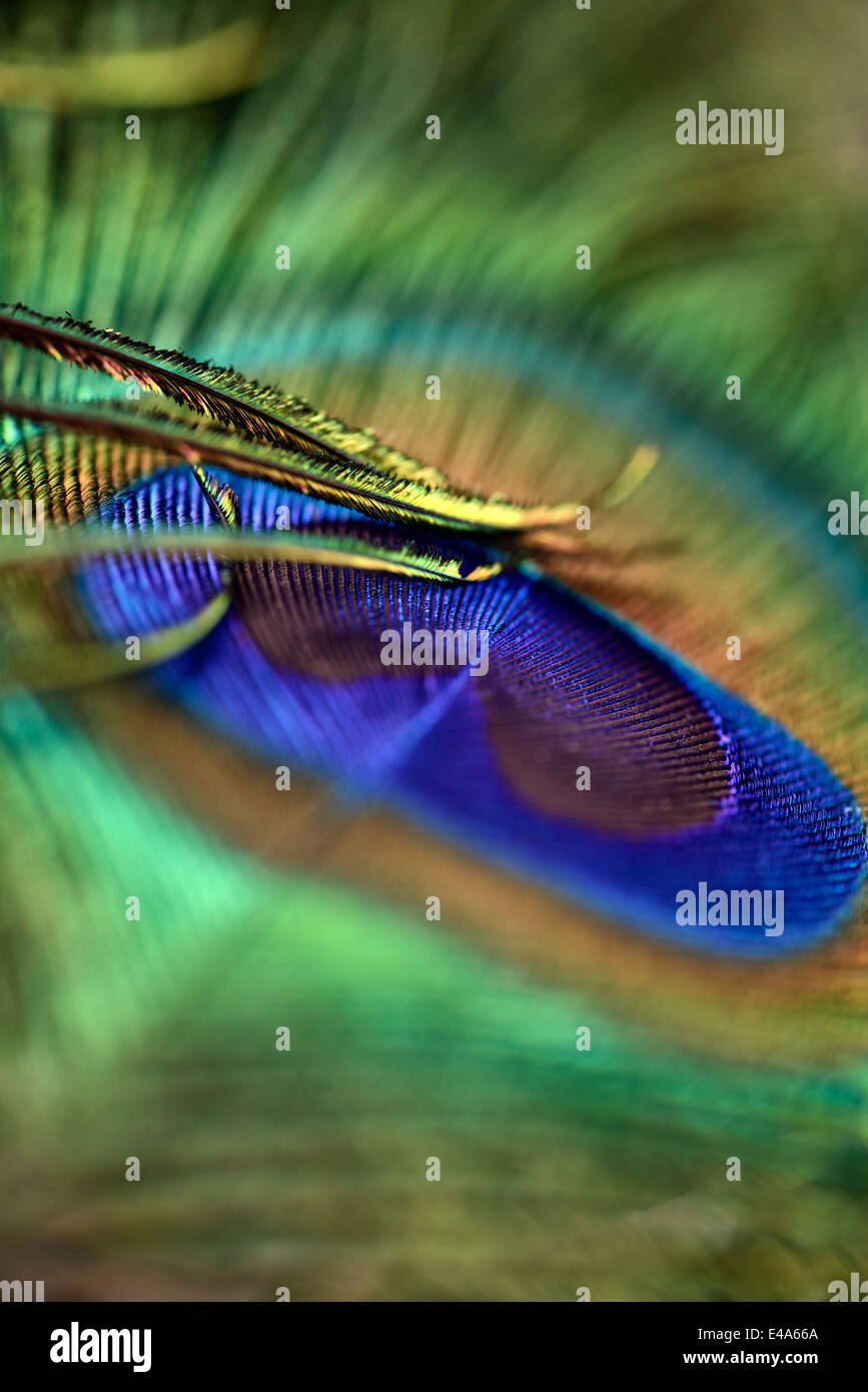 Detail of peacock's feather - Stock Image