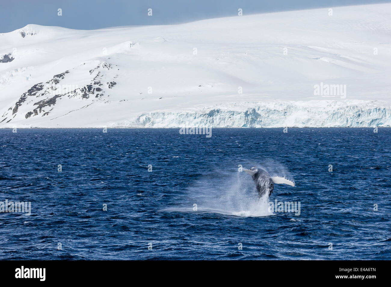 Humpback whale (Megaptera novaeangliae) breaching, Gerlache Strait, Antarctica, Polar Regions Stock Photo