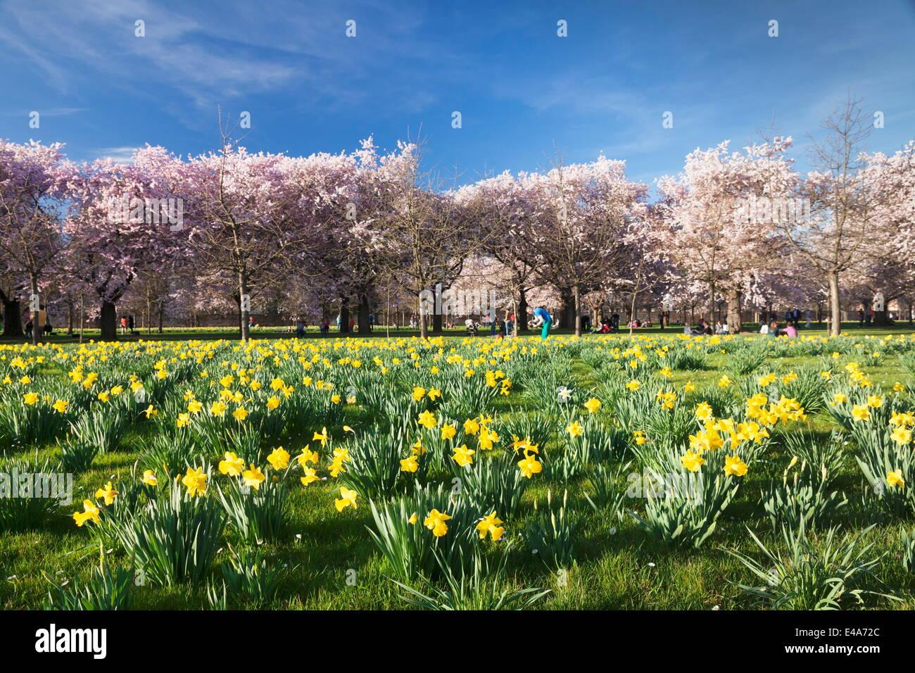 Cherry blossom and narcissi blossom, Palace garden, Schloss Schwetzingen Palace, Schwetzingen, Baden Wurttemberg, - Stock Image