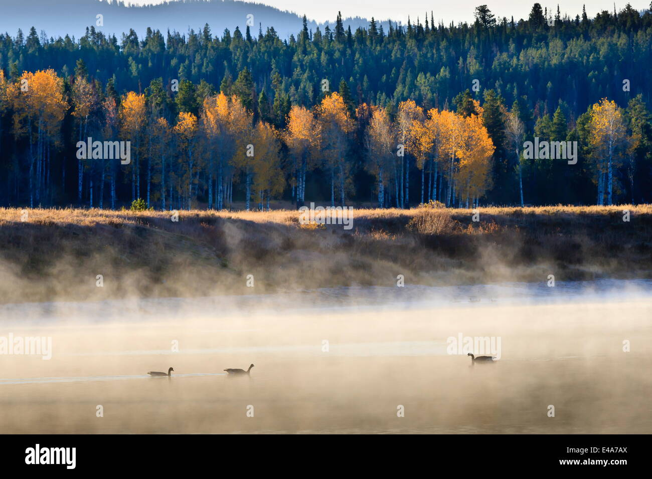 Wildfowl on Snake River surrounded by a cold dawn mist in autumn (fall), Grand Teton National Park, Wyoming, USA - Stock Image