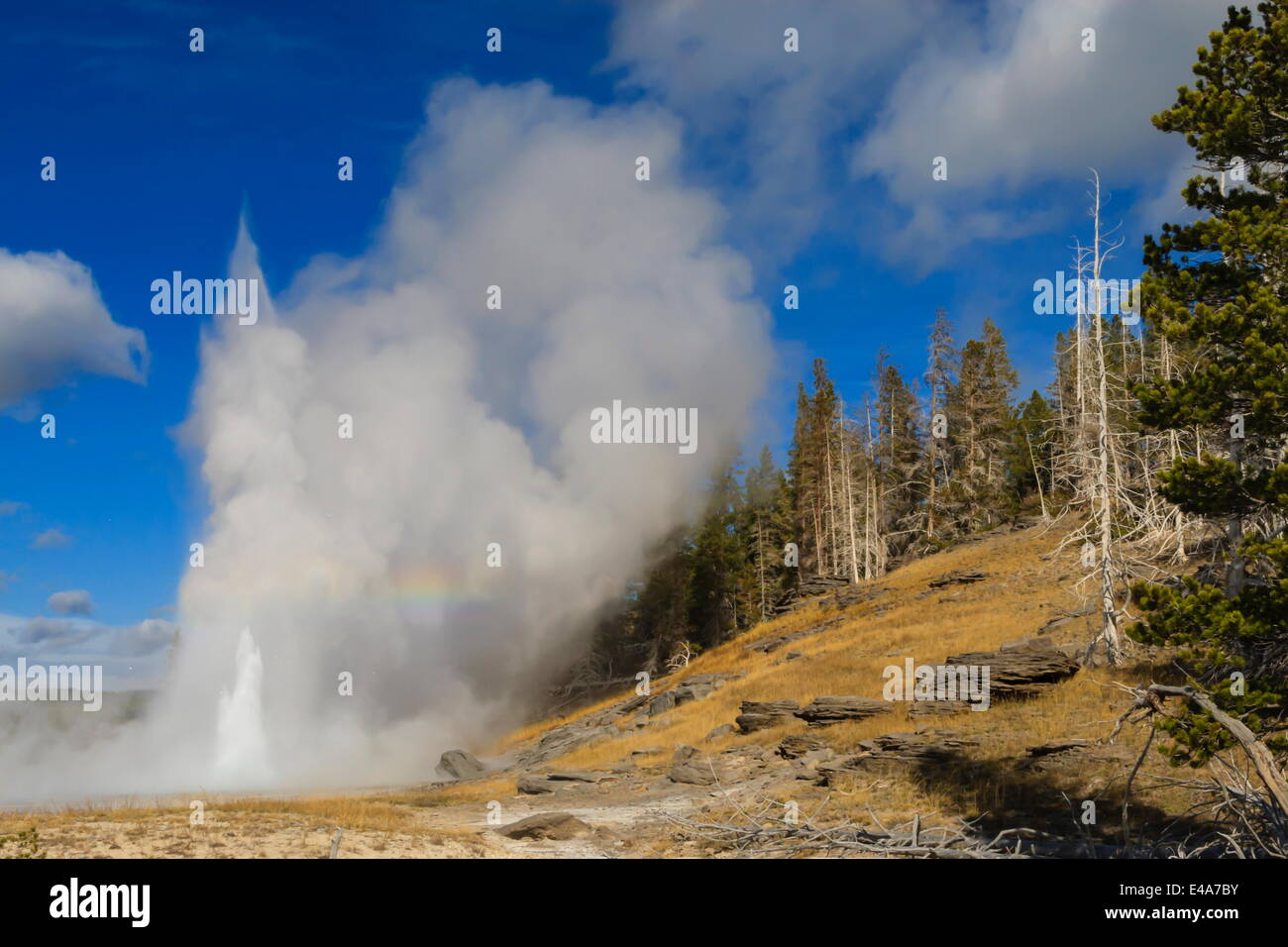 Grand Geyser erupts, forcing steam high into the air, Upper Geyser Basin, Yellowstone National Park, UNESCO, Wyoming, - Stock Image