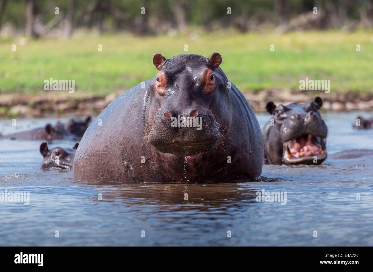 Hippopotamus, Okavango Delta, Botswana, Africa - Stock Image