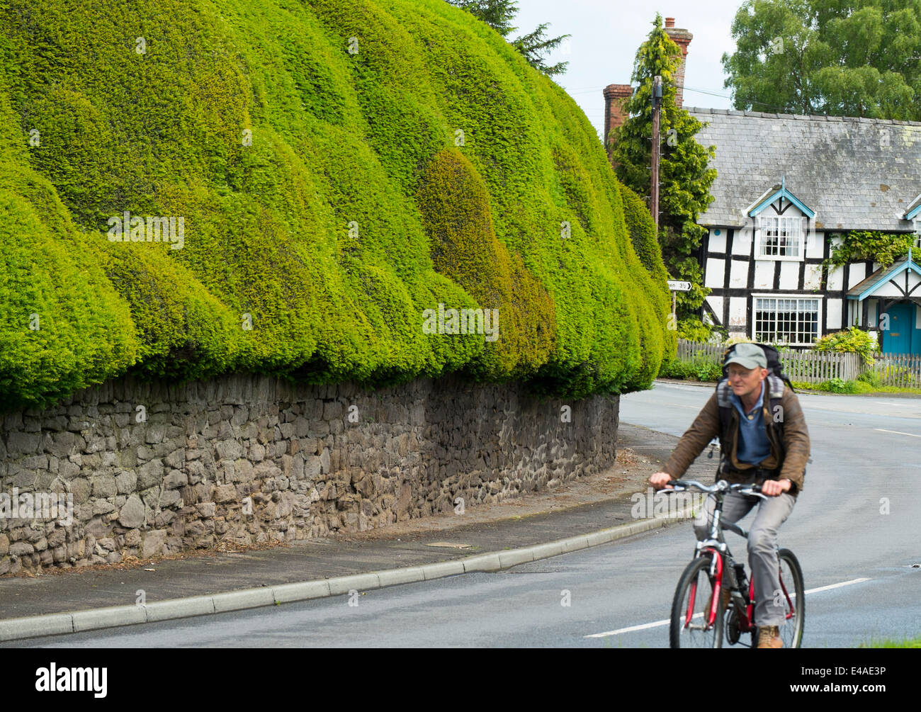 Sculpted yew hedge in the village of Brampton Bryan, Herefordshire, England. - Stock Image