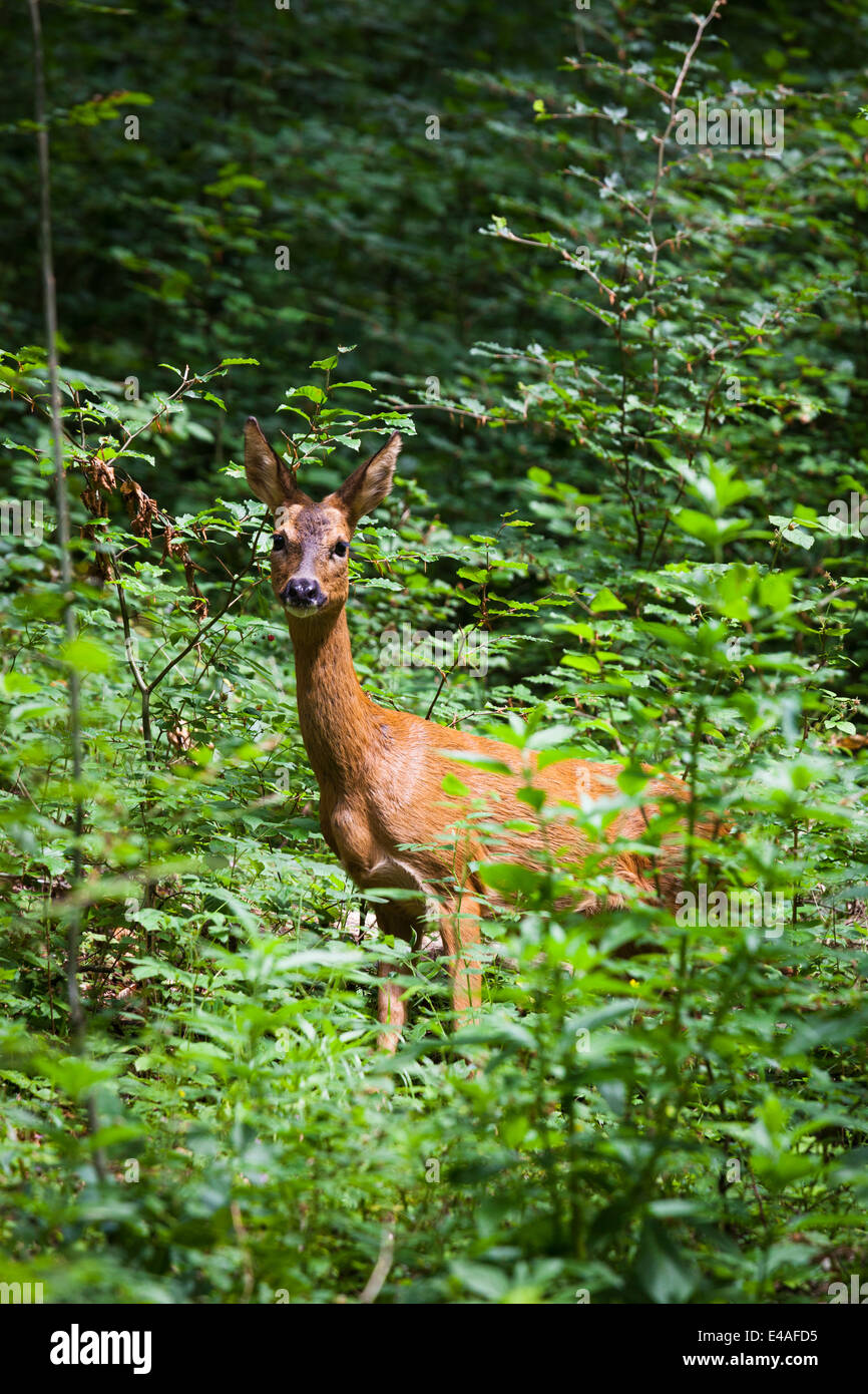 Female red deer (hind) looking at camera from edge of forest. - Stock Image