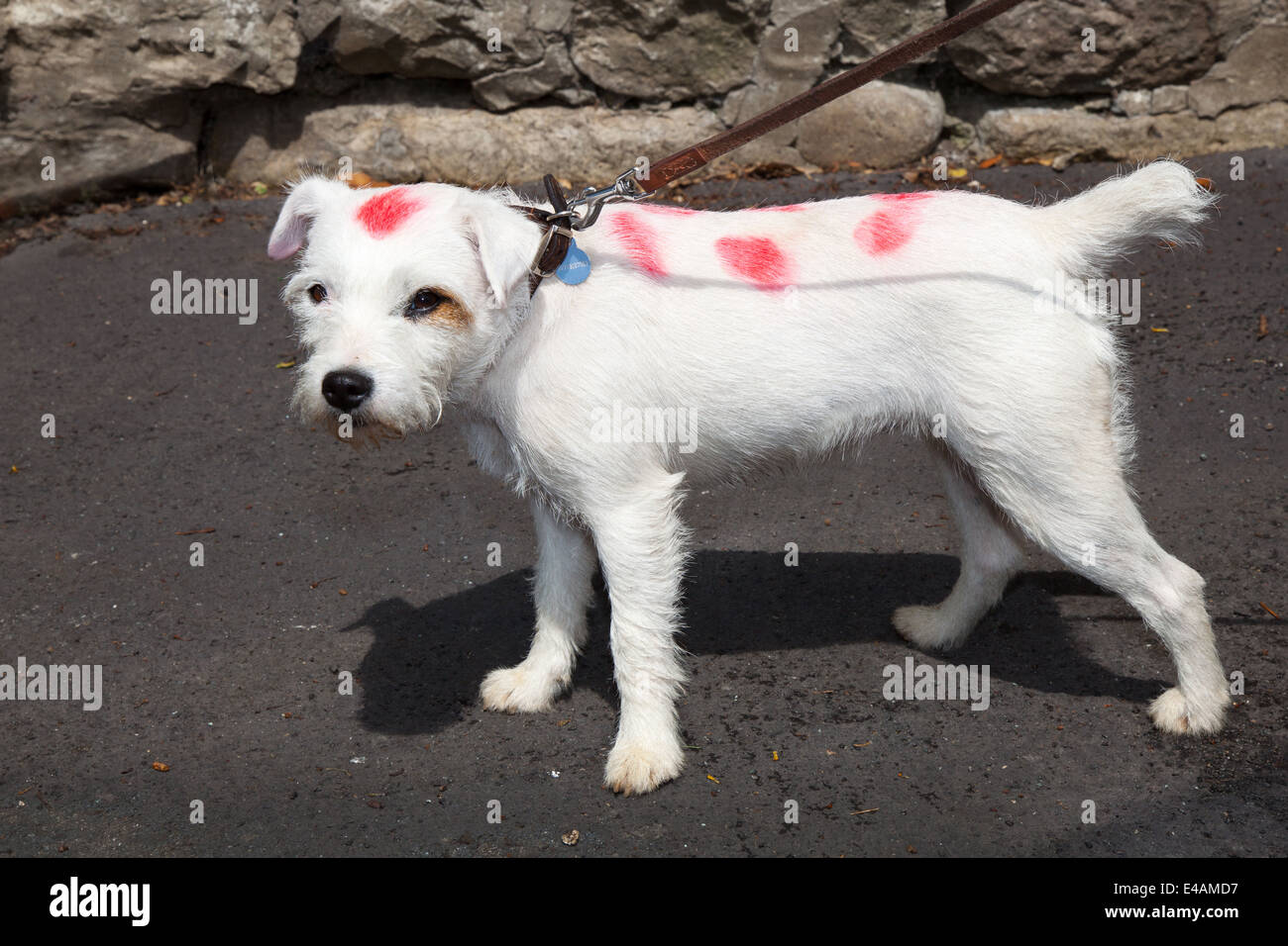West Tanfield, Yorkshire, UK. 5th July, 2014. 'Parsons' a white terrier  dog, dyed and painted with red - Stock Image