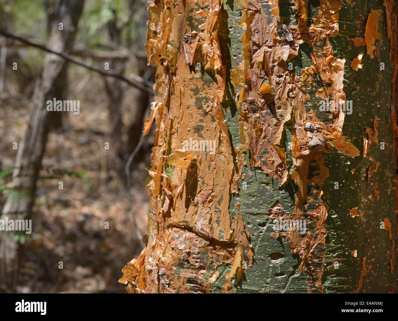 Gumbo-limbo tree, Bursera simaruba, Santa Rosa National Park, Guanacaste Province, Costa Rica - Stock Image