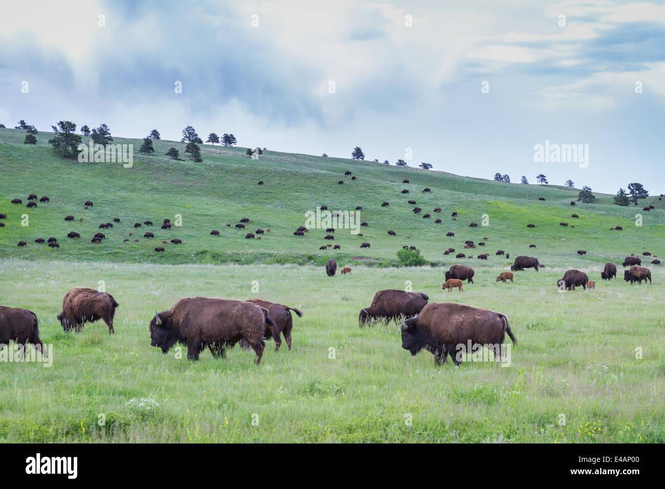 large wild american buffalo herd in the grasslands of South Dakota - Stock Image