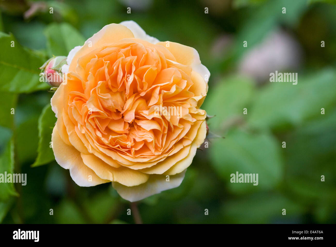Rosa Crown Princess Margareta 'Auswinter'. A short climbing English rose. - Stock Image
