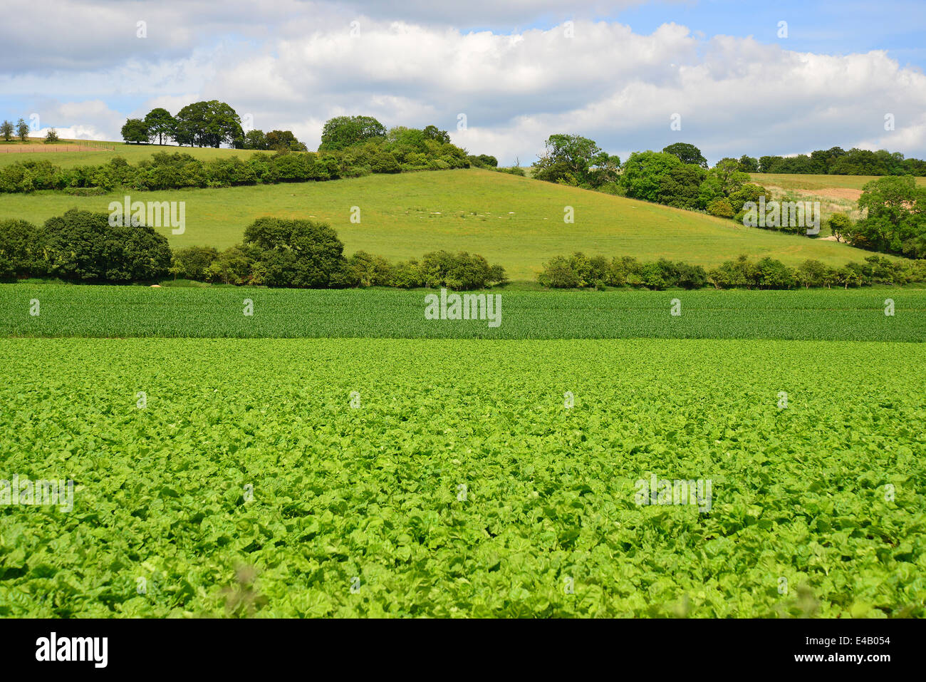 Green vegetables growing in field near Marlow, Buckinghamshire, England, United Kingdom - Stock Image