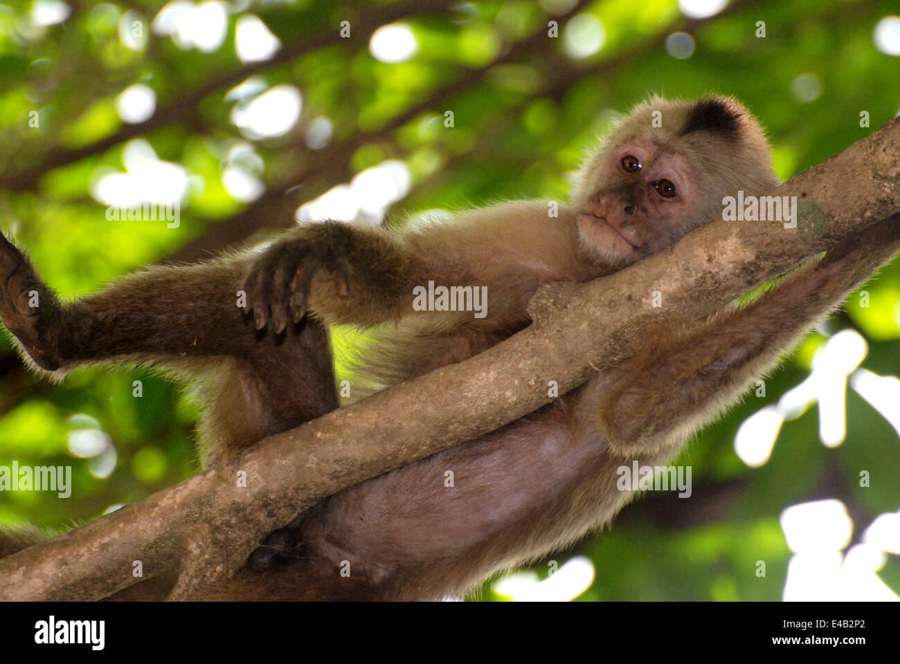 Brown Capuchins: Lifestyles, Behaviors and Descriptions of Monkey Species 95