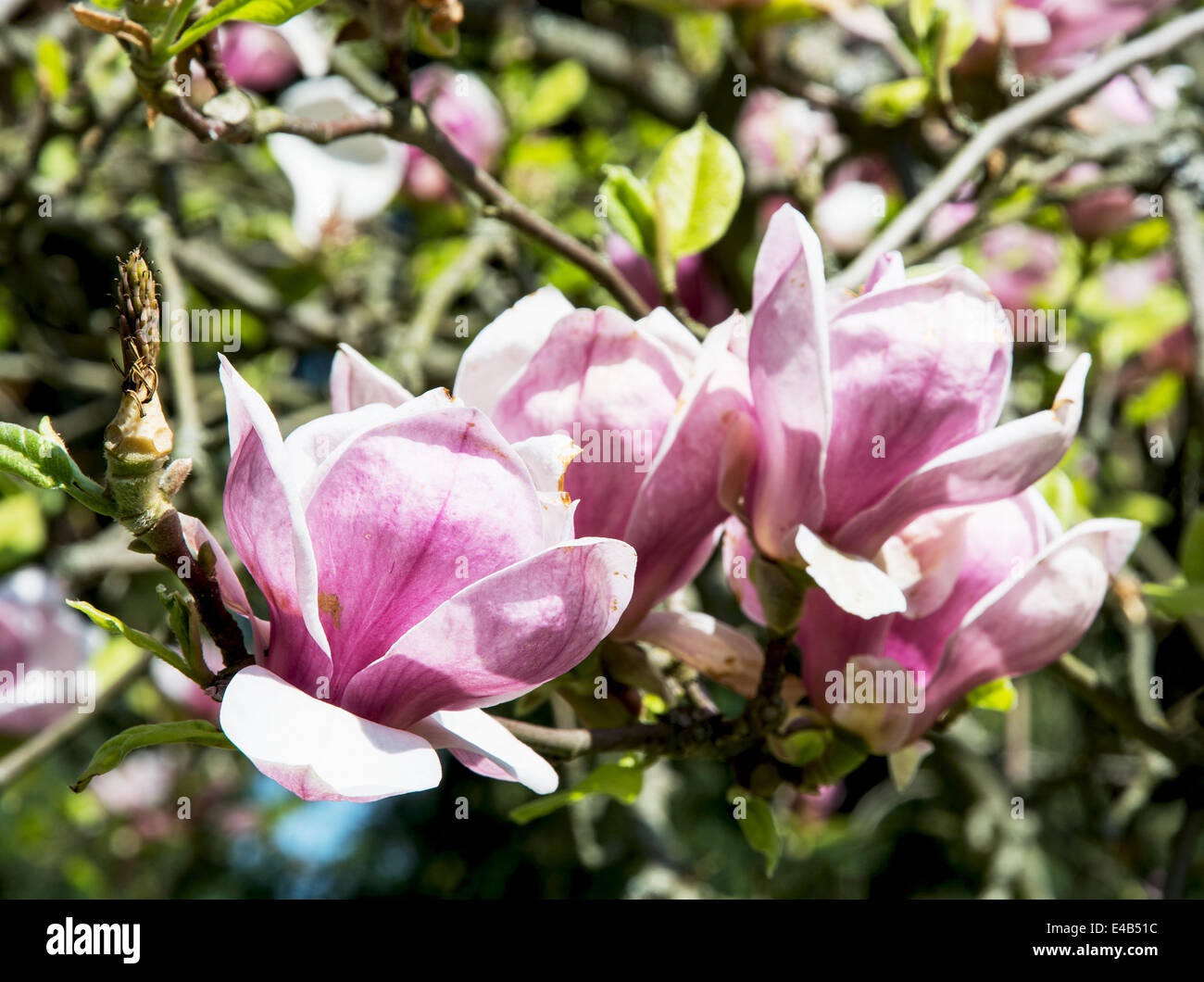 Detail of blooming magnolia in spring garden. Stock Photo
