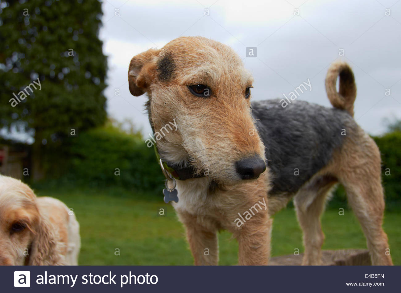 Wiry Terrier Stock Photos Wiry Terrier Stock Images Alamy
