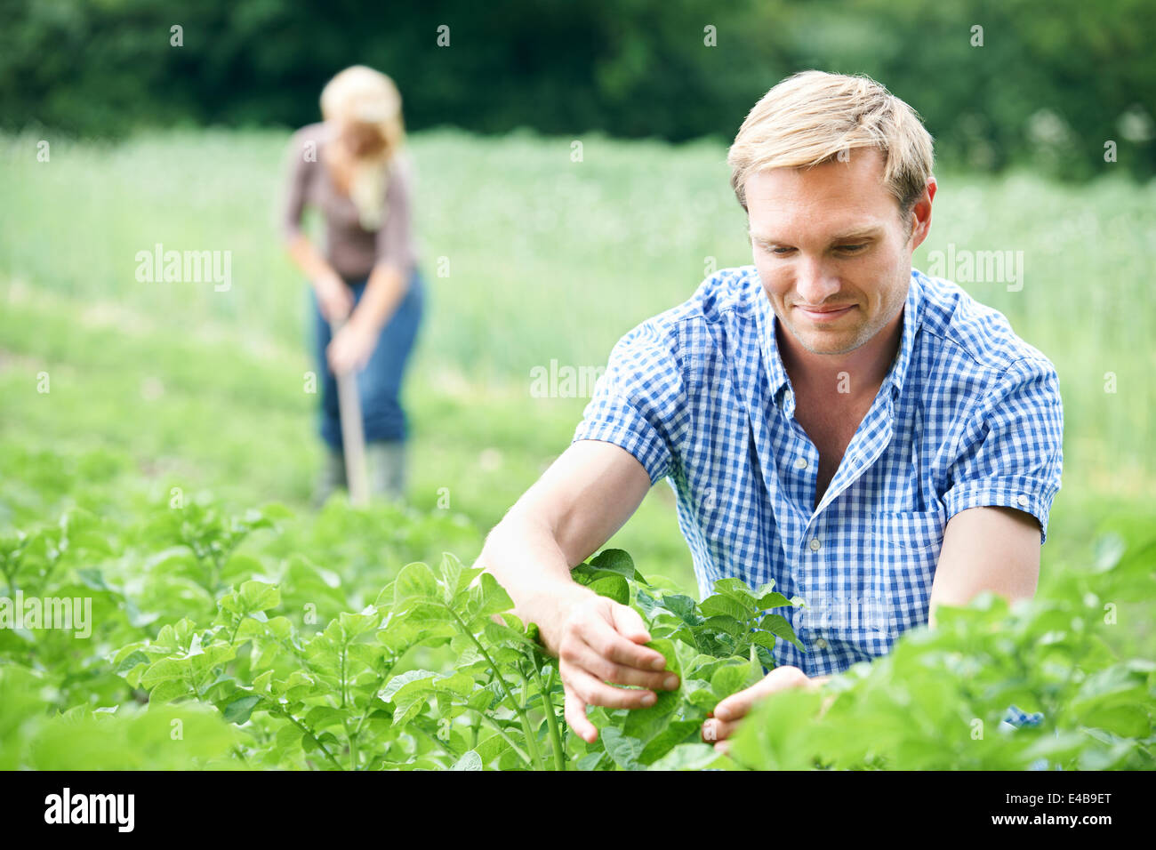 Couple Working In Field On Organic Farm - Stock Image
