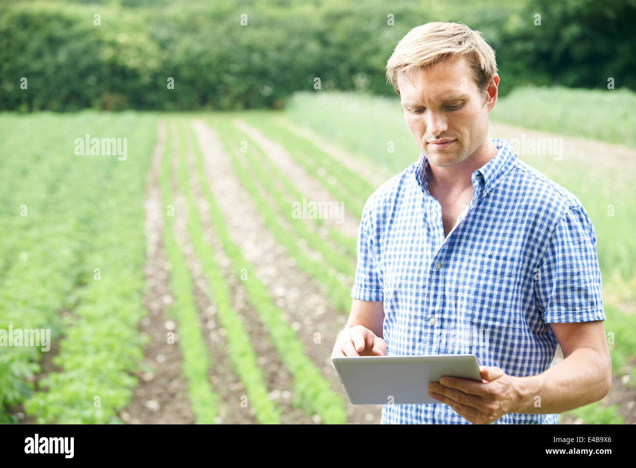 Farmer In Field Of Organic Crops Using Digital Tablet - Stock Image