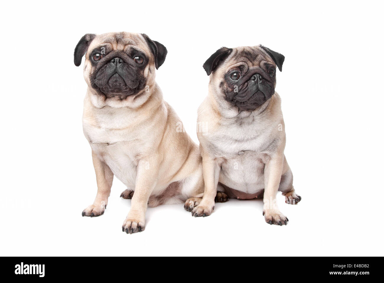 two pug dogs - Stock Image
