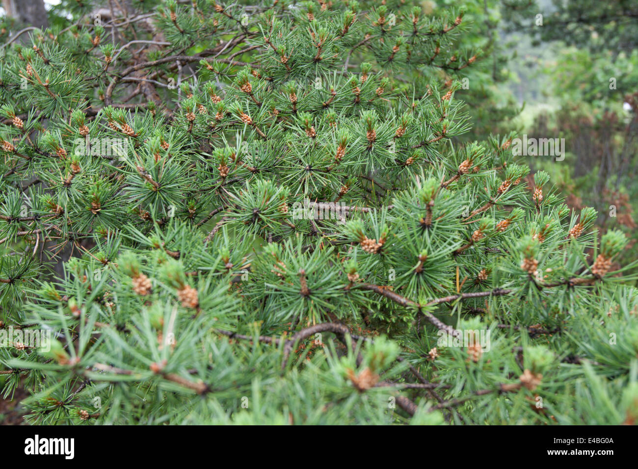 Green branches of the pine close-up, dull - Stock Image