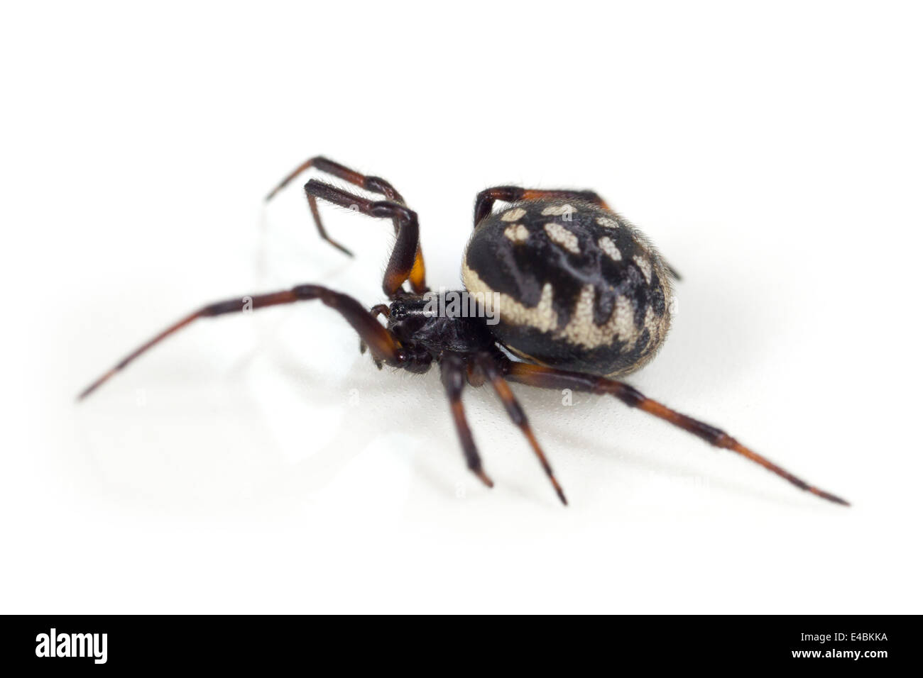 Female White-spotted false-widow (Steatoda albomaculata) spider, part of the family Theridiidae - Cobweb weavers. - Stock Image