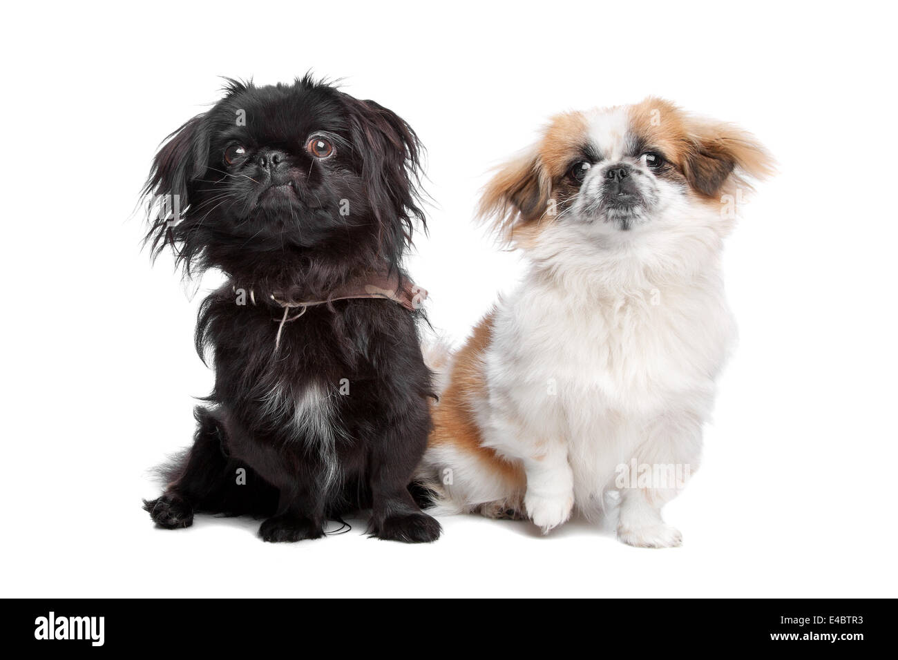 Hello, please tell me how Pekingese dogs are small children. Is there a danger 91