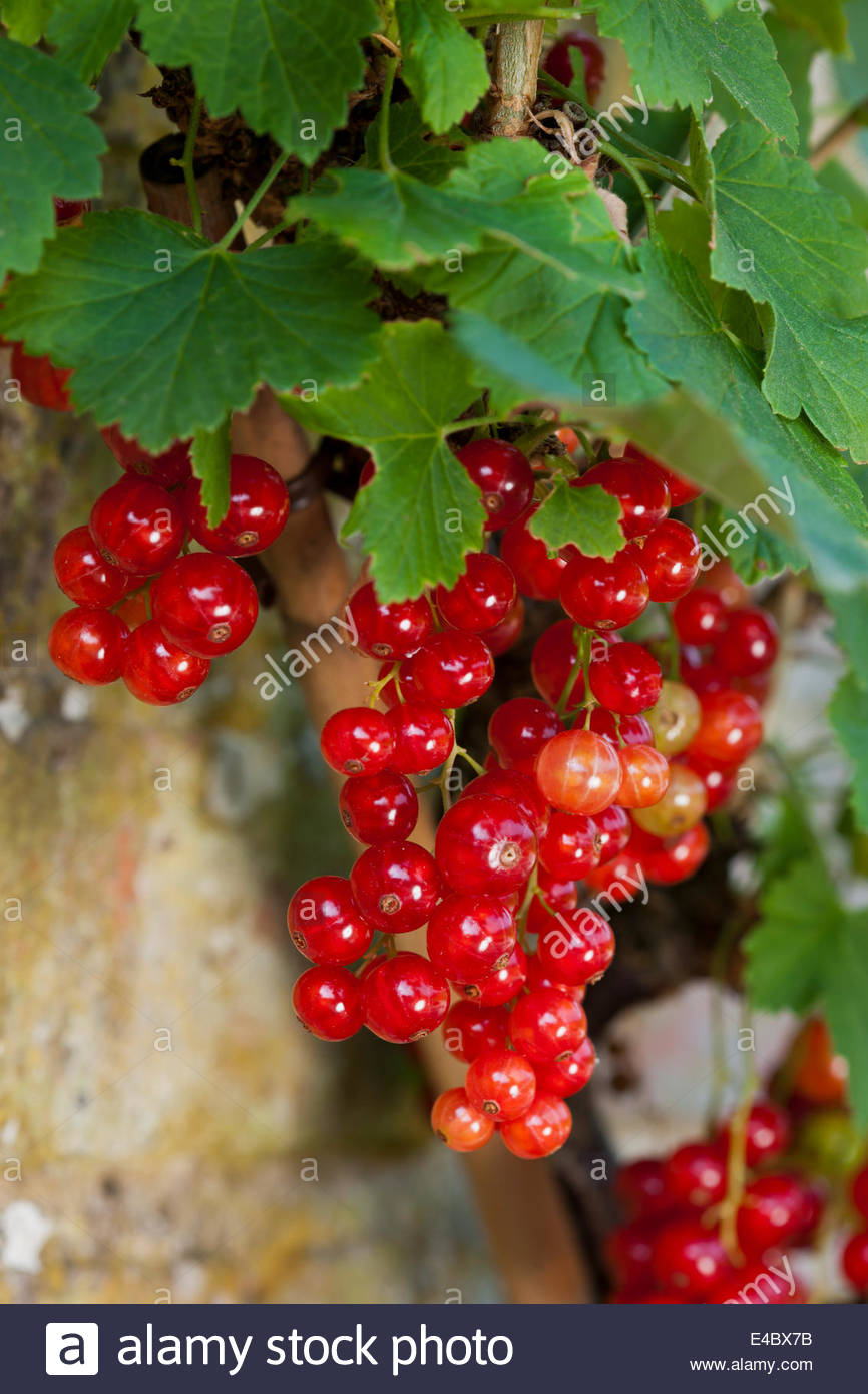 Red current Rondon Ribes rubrum soft fruit summer berries home grown organic heritage cultivar edible July summer - Stock Image