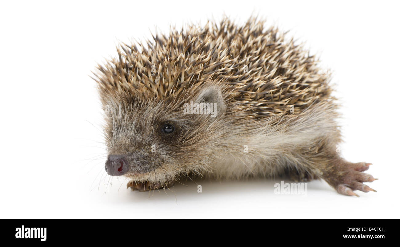 hedgehog isolated - Stock Image