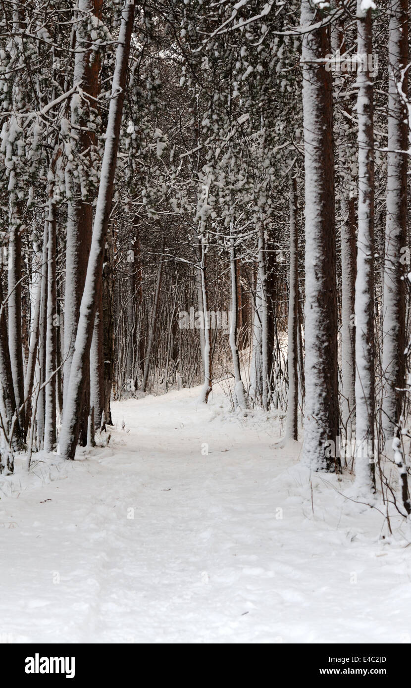 Snow-clad lane in winter wood - Stock Image