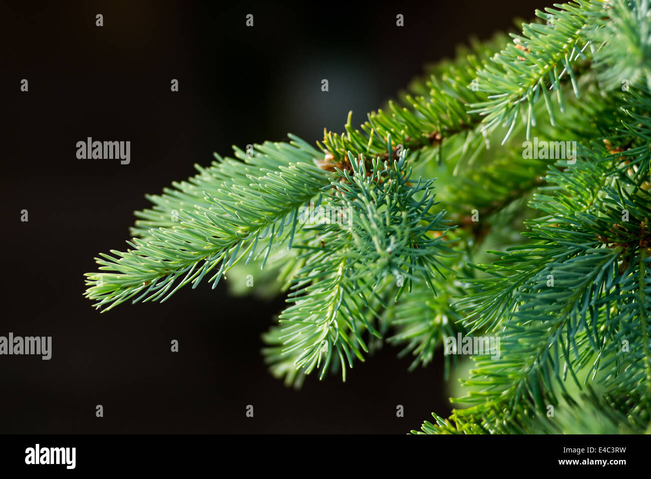 Branch of abies - Stock Image